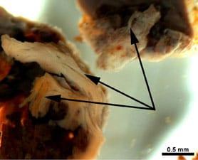 T Rex soft tissue
